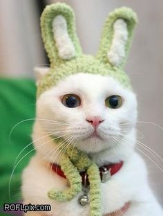 Funny bunny cat is not amused.