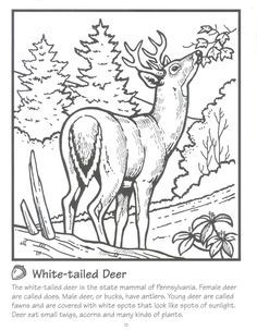 Whitetail Deer.jpg (1244×1600)