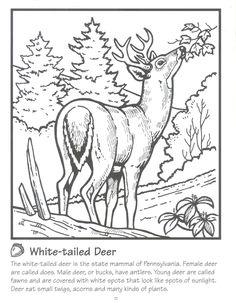 Whitetail Deer.jpg (1244×1600)