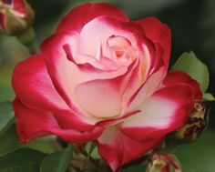 """Cherry Parfait™ Grandiflora Rose:  This rose is excellent in all climates. The truly outstanding 4 1/2"""" cupped blooms the color of creamy white with red edging and the dark foliage make this continually blooming rose a wonderful addition to any garden. 30 petals."""