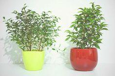 Árbol o arbusto que se adapta perfectamente como planta de interior. ¿Qué te parece?
