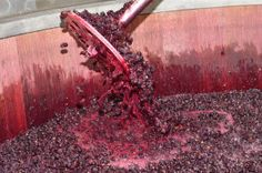 Red wine grapes fermenting in an oak vat.