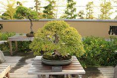 いわしで Iwashide (Korean Hornbeam) - 盆栽美術館 - bonsai museum | Flickr: Intercambio de fotos