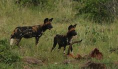 Wild dogs with carcass of male impala - 7.7.12 at Loisaba Wilderness, Laikipia, Kenya.  www.loisaba.com