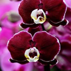 orchid colors | Blog - Orchid care tips for watering Phalaenopsis orchids with ice. Don't forget to sign up for orchid care watering reminders.
