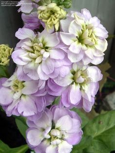 Garden Stock, Gillyflower (Matthiola incana) 'Midget Lavender'