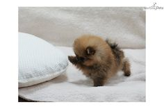 Cute Puppies , 11 Cheerful Teacup Pomeranian Puppy : Friendly Pomeranians For Sale. I frequently look up these little micro teacup pomeranians daily when procrastinating from studying, ha! I want one so badly, but 1. they're so expensive and 2. I'm so allergic :(
