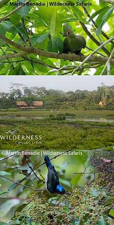 We Are Wilderness - We have arrived safely in Odzala-Kokoua National Park and will be initially based at Lango Camp nestled in dense gallery forest overlooking the productive Lango Bai. Click on the image for the full story. Conservation, Wilderness, Mists, Safari, Aquarium, Tourism, National Parks, Camping, Gallery