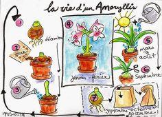 Martine Paquet : La vie d'un Amaryllis, 2ème devoir de la semaine
