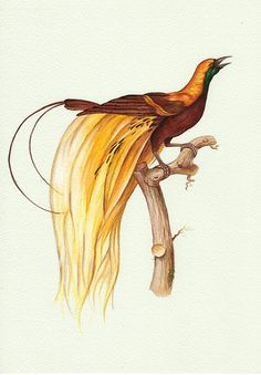 """8"""" x 10"""" Natural History Art Yellow Bird of Paradise print from by TinyRed"""