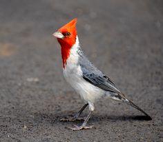 ¿Podría el cambio climático ser el responsable del declive de aves en Hawái? - http://www.meteorologiaenred.com/cambio-climatico-responsable-del-declive-aves-en-hawai.html