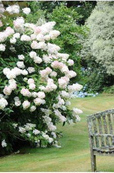 Hortensia paniculata 'Phantom '