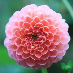 Dream Garden, Yard Landscaping, Honey, Landscape, Swan, Flowers, Plants, Dahlias, Lawn And Garden