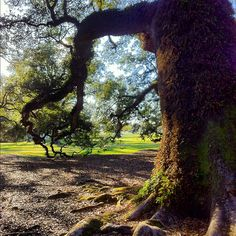 The Mighty Oak #instamazing