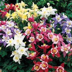 Columbine origami mix -Needs no cold snap to start blooming, so you'll be in color by late summer from a spring planting!