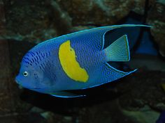 Pomacanthus maculosus, also known by the common names yellowbar angelfish, half moon or blue moon angelfish, and map angelfish, is a marine angelfish distributed throughout the Persian Gulf, the northwestern Indian Ocean and Red Sea.