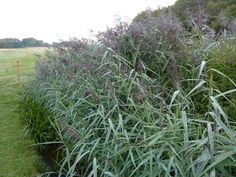 Permaculture Plants: Common Reed