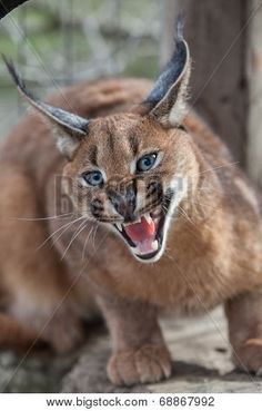 Amazing photos and facts about Caracal and other wild cats. Caracal Cat, Serval, Lynx, Animals Beautiful, Cute Animals, Wild Animals, Game Reserve South Africa, Mon Zoo, Cat Anatomy