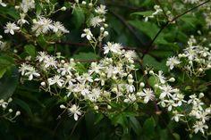 CLEMATIS virginiana – Clématite de Virginie – Virginia Virgin's Bower - Jardins Michel Corbeil Floraison; juillet, août, septembre; 1m de hauteur seulement, mi-ombre, soleil