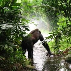 CRITICALLY THREATENED UNESCO GORILLAS IN JEOPARDY FROM PROPOSED FARMING PROJECT
