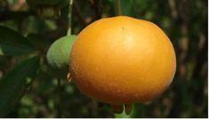 Gabiroba fruta brasileira repleta de nutrientes