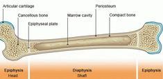 Anatomy & Physiology Lab Overview of the Skeleton Flashcards Bone Marrow, Theatre Nurse, Theater, Skeletal System Worksheet, Bone Fracture, Human Body Unit, Skeletal Muscle, Bones, Teatro