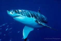 Great white shark off the coast of Guadalupe Island by Kip Evens.
