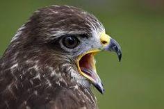 Bildergebnis für greifvögel