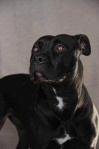 Black Panther Pitbull Gioia - you won't believe the face on this dog! All Black Pitbull, Black Pitbull Puppies, Dogs Pitbull, Cute Baby Animals, Animals And Pets, Pitbull Wallpaper, American Staffordshire Terrier, Black Dogs Breeds, Cute Puppies