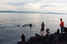One of the best places in the world to view orcas in the wild close up is Lime Kiln Point State Park.  It is one of their favorite foraging grounds and they often come with yards of shore due to the deep water.