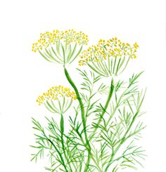 Dill original watercolor painting , in green and Yellow , Plants, Botanical herb, mothers day, cottage chic, kitchen decor. $42,00, via Etsy.