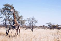 Ever imagined a living with giraffe in your backyard? Life in Africa, ride every day and work with horses - can life get any better?
