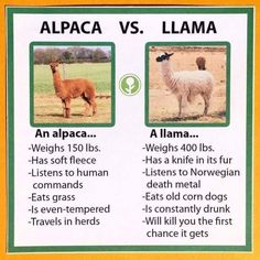 Llamas VS Alpacas: Learn The Difference - World's largest collection of cat memes and other animals Animal Memes, Funny Animals, Cute Animals, Animal Funnies, Animal Facts, Cat Memes, Funny Memes, Hilarious, Funny Quotes