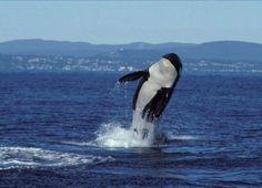 "#SeaWorld vs Nature 103yo #Blackfish ""Granny"" is a living example of what's wrong SeaWorld https://t.co/4NLJZhFpau https://t.co/hSzwehNOfv"
