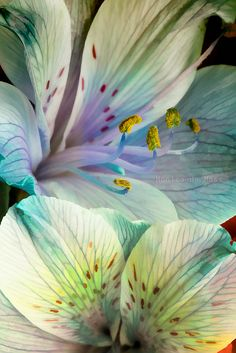 ~~ Alstroemeria wallart ~~ wonderful photo of the delicate petals, while highlighting the creamy white and color. Colorful Roses, Exotic Flowers, Amazing Flowers, My Flower, Beautiful Flowers, Beautiful Gorgeous, Lilly Flower, Pastel Flowers, Cut Flowers