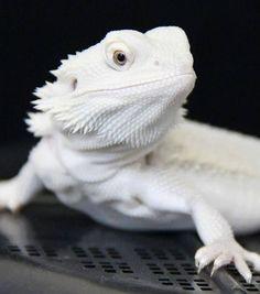 Sweet looking bearded dragon.