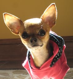 Chihuahuas are very smart and curious!! I really love the big ears and the expression on this little cutie!