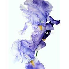 Iris II  fine art  archival botanical print 11 x 8 by marieburke1, $22.00
