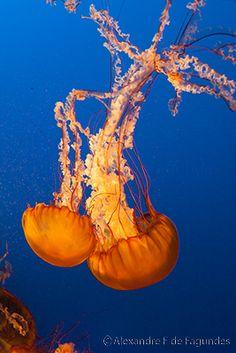 Jellyfish, Vancouver aquarium, west coast of Canada