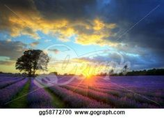 """Beautiful image of stunning sunset with atmospheric clouds and sky over vibrant ripe lavender fields in English countryside landscape"" - Sunset Stock Photos from Go Graph"