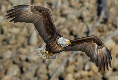The Magnificent Mississippi River Bald Eagle