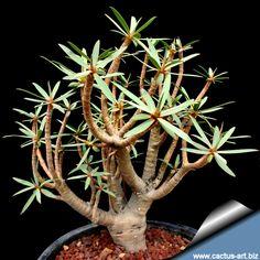 euphorbia balsamifera - Hledat Googlem