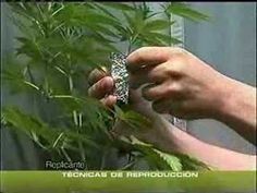 Esquejes marihuana (acodo aéreo) Curioso sistema para crear esquejes - YouTube Bonsai, Youtube, Air Layering, Ganja, Create, Plants, Bonsai Plants, Youtubers, Youtube Movies