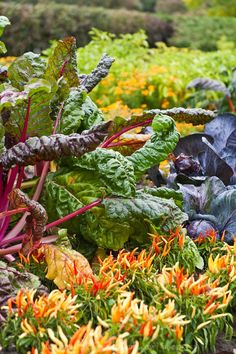 Swiss chard and red cabbage for autumn kitchen garden