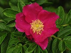 ramanas-rose