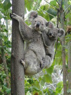 koala bear | Koala Bear?