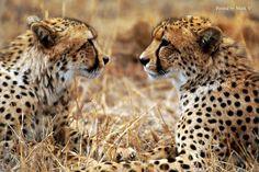 #Big #Cats #Cheetahs
