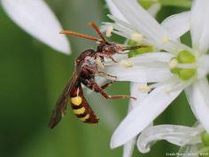 Attirer les abeilles sauvages à proximité d'un verger permet d'assurer une pollinisation de qualité.