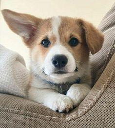 Corgi, Animals, Cute Small Dogs, Pet Dogs, Corgis, Animales, Animaux, Animal, Animais
