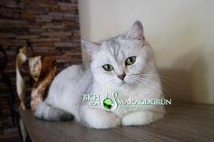 British shorthair cat BRI ns 11